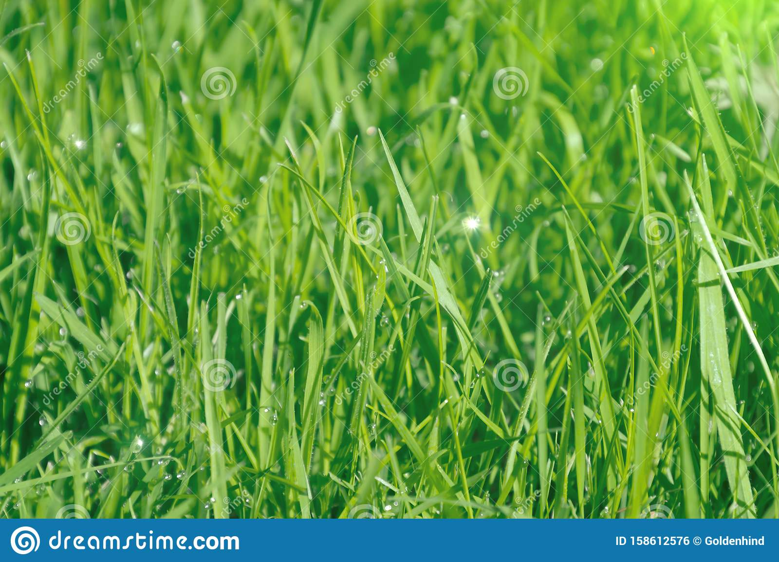 Close up of fresh dew drops on blades of grass in bright morning sunlight