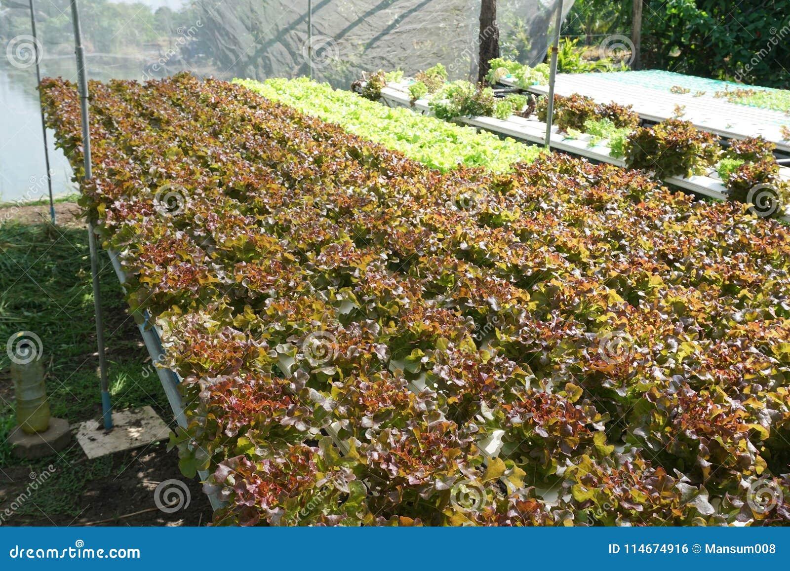 Fresh Red Oak Plant In Vegetable Garden Stock Photo - Image of fresh ...