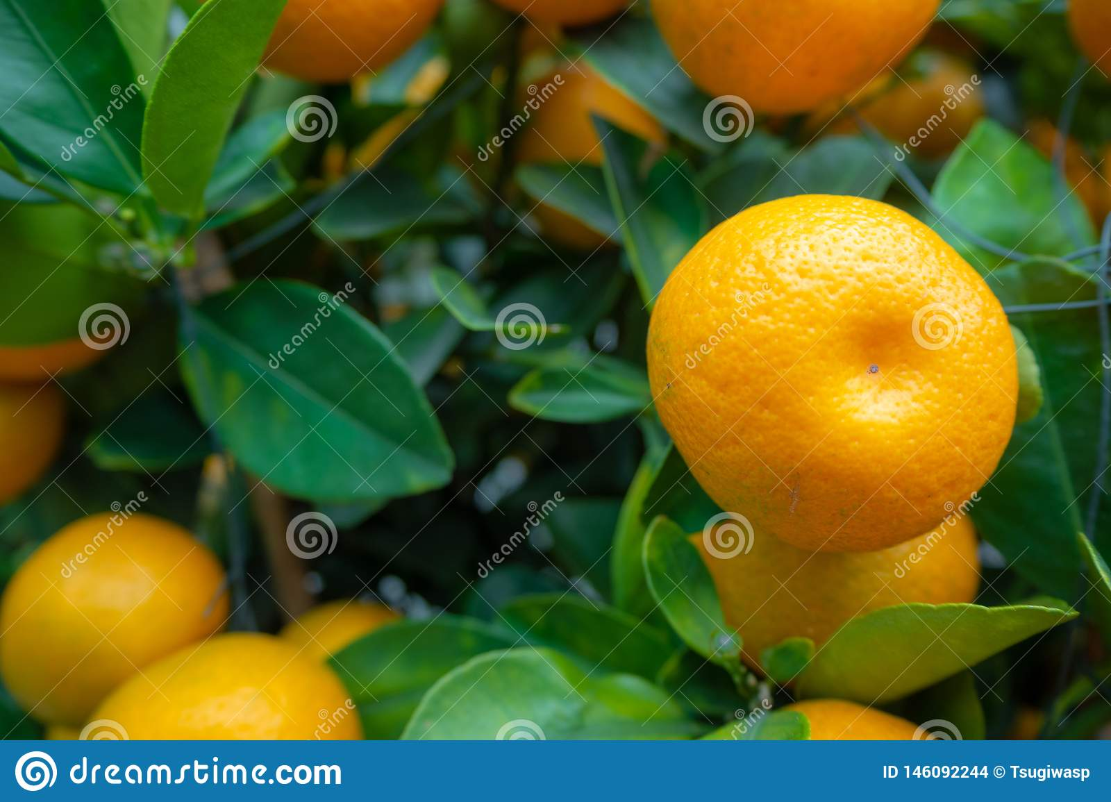 Close-up of fresh small orange on green leafs background
