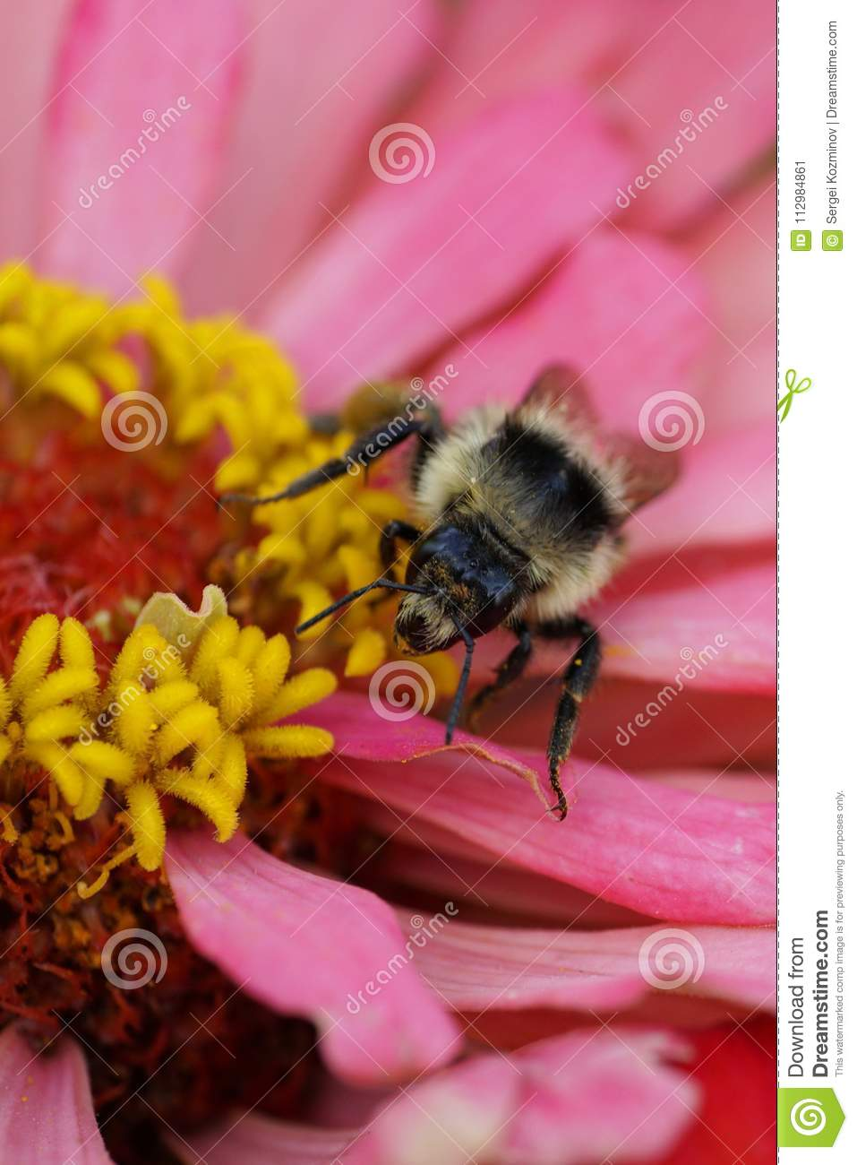 Close-up view from front of Caucasian fluffy striped bumblebee B