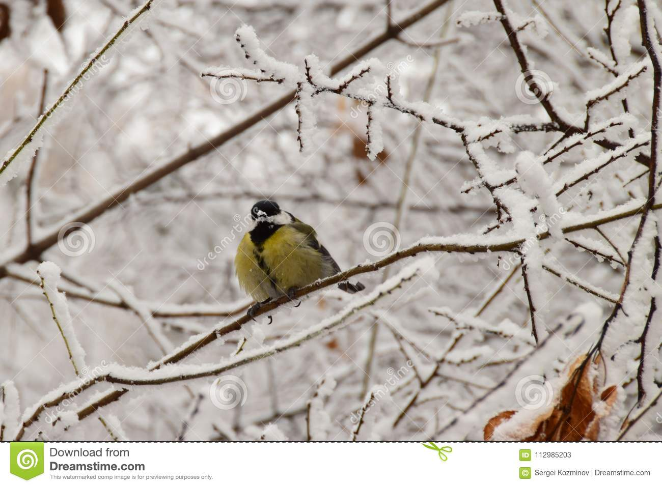 Close-up of a frozen yellow caucasian titmouse sitting in snowy