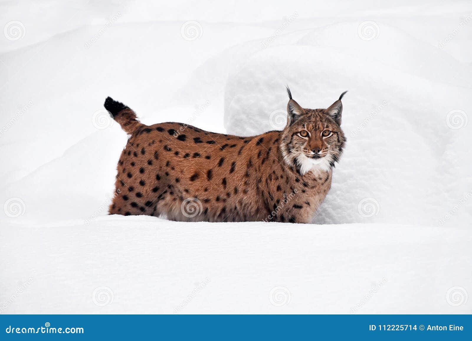Close up full length Eurasian lynx in winter snow