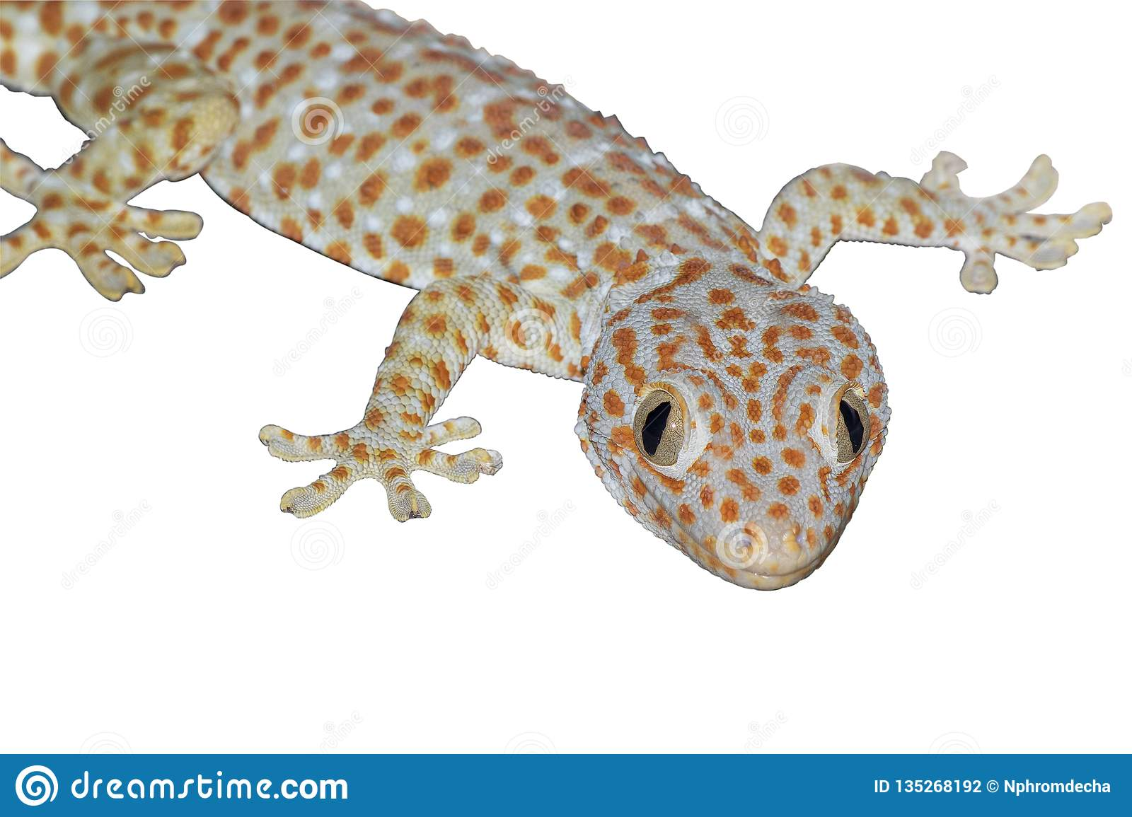 Close up gecko isolate on white background