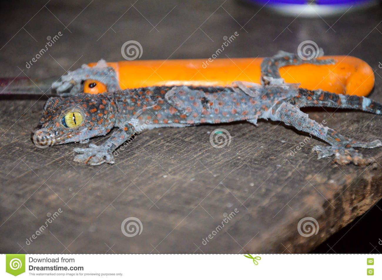 Close up gecko molting off the old skin on an old wooden table