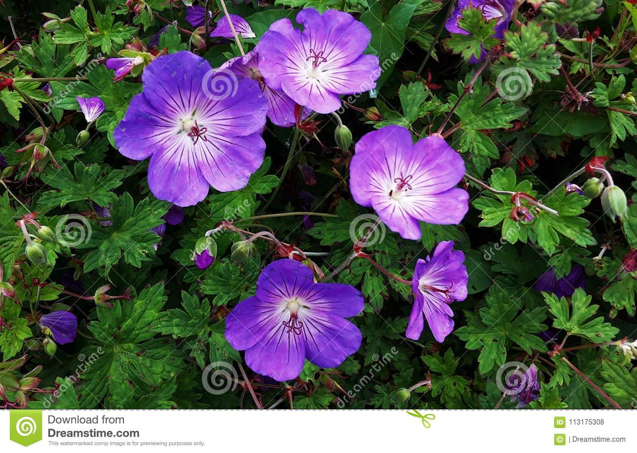 Geranium Rozanne Purple Flowers In A Park Stock Photo Image Of