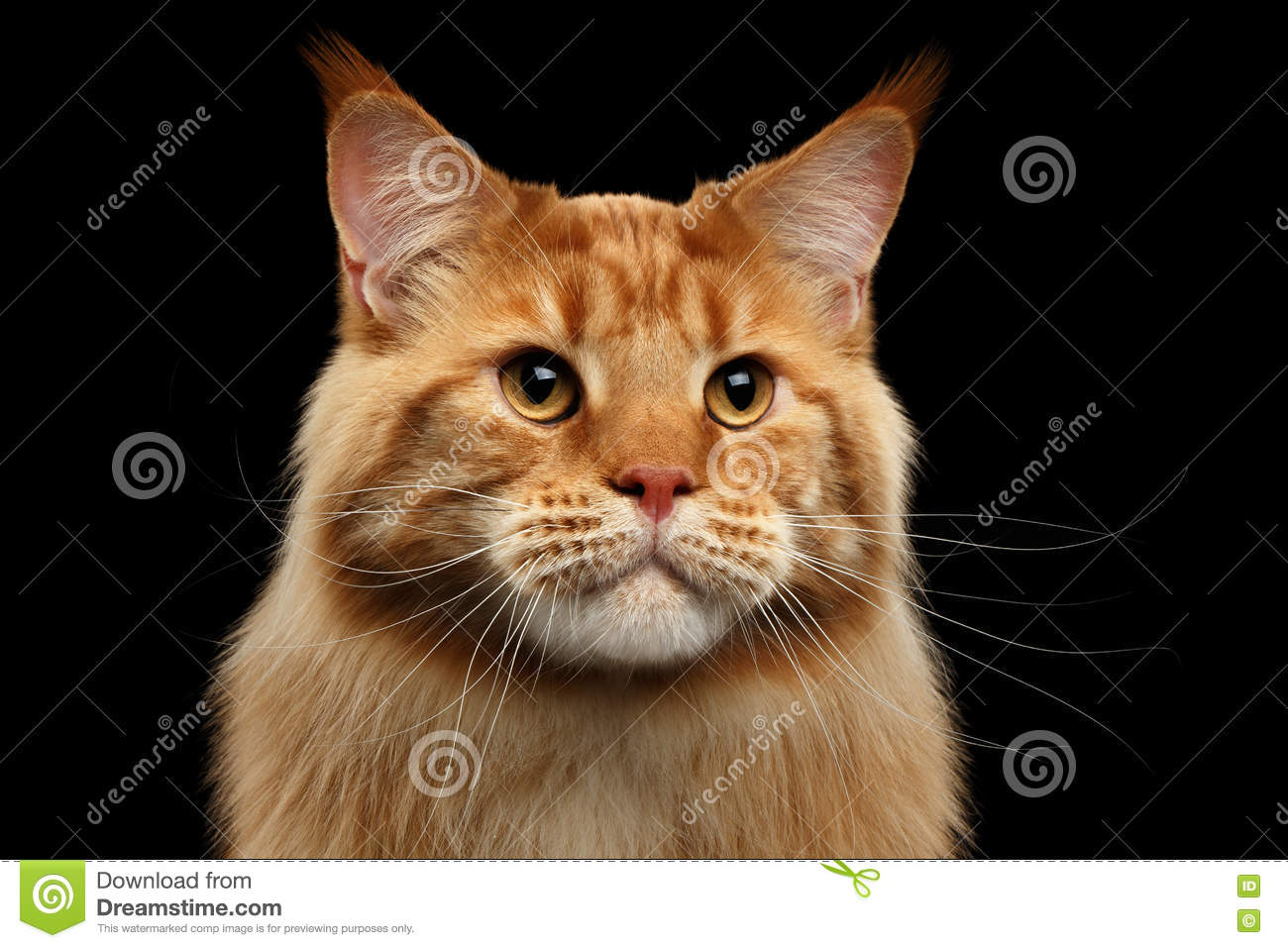 Close-up Ginger Maine Coon Cat Curious Looks, Geïsoleerde Zwarte Achtergrond
