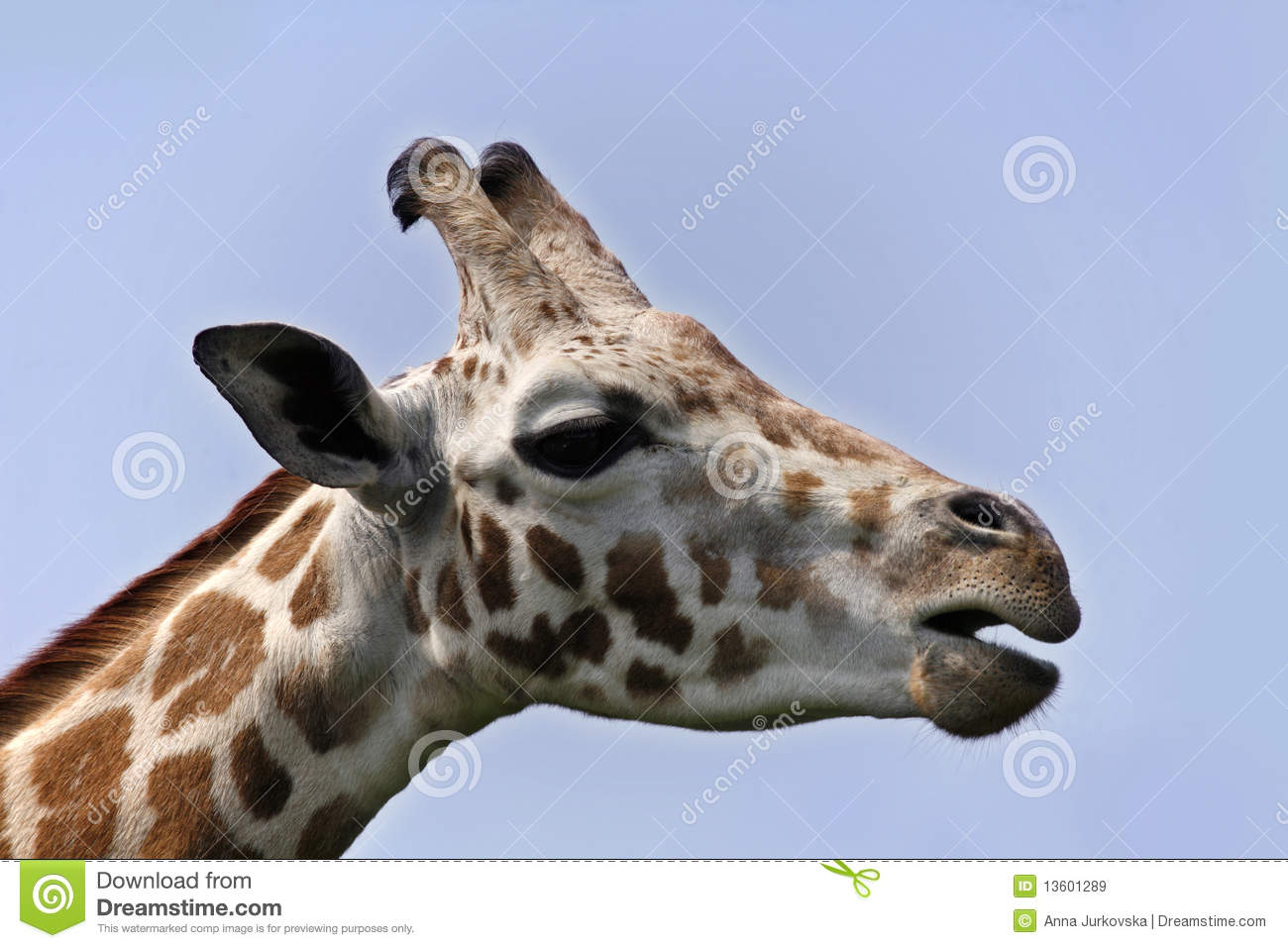 Giraffe head close up - photo#20