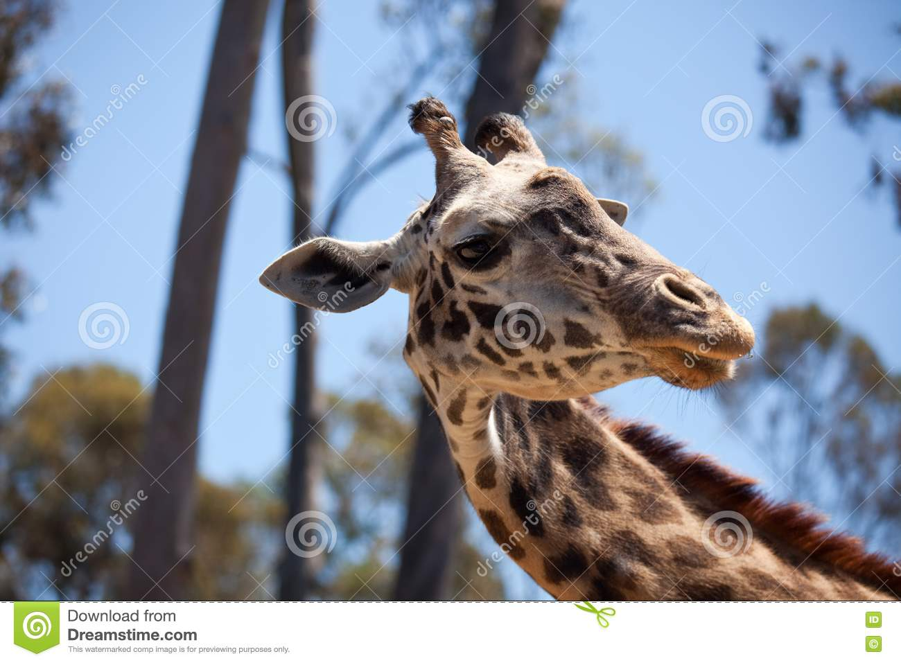Giraffe head close up - photo#18