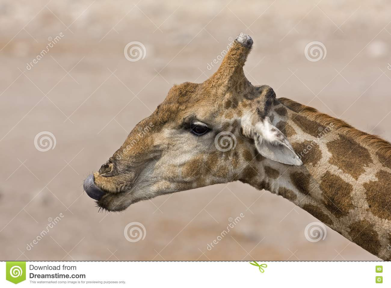 Giraffe head close up - photo#22
