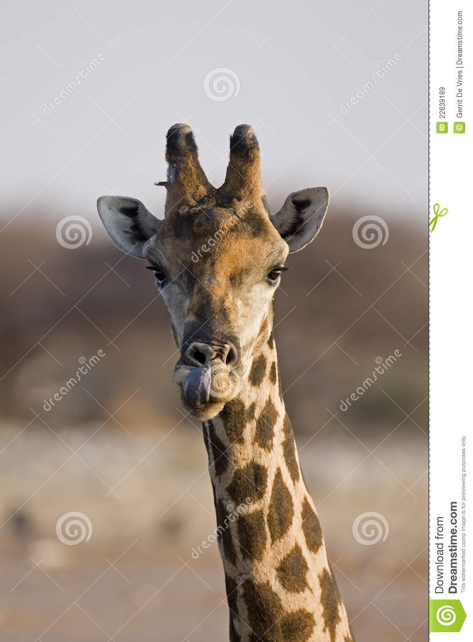 Giraffe head close up - photo#13