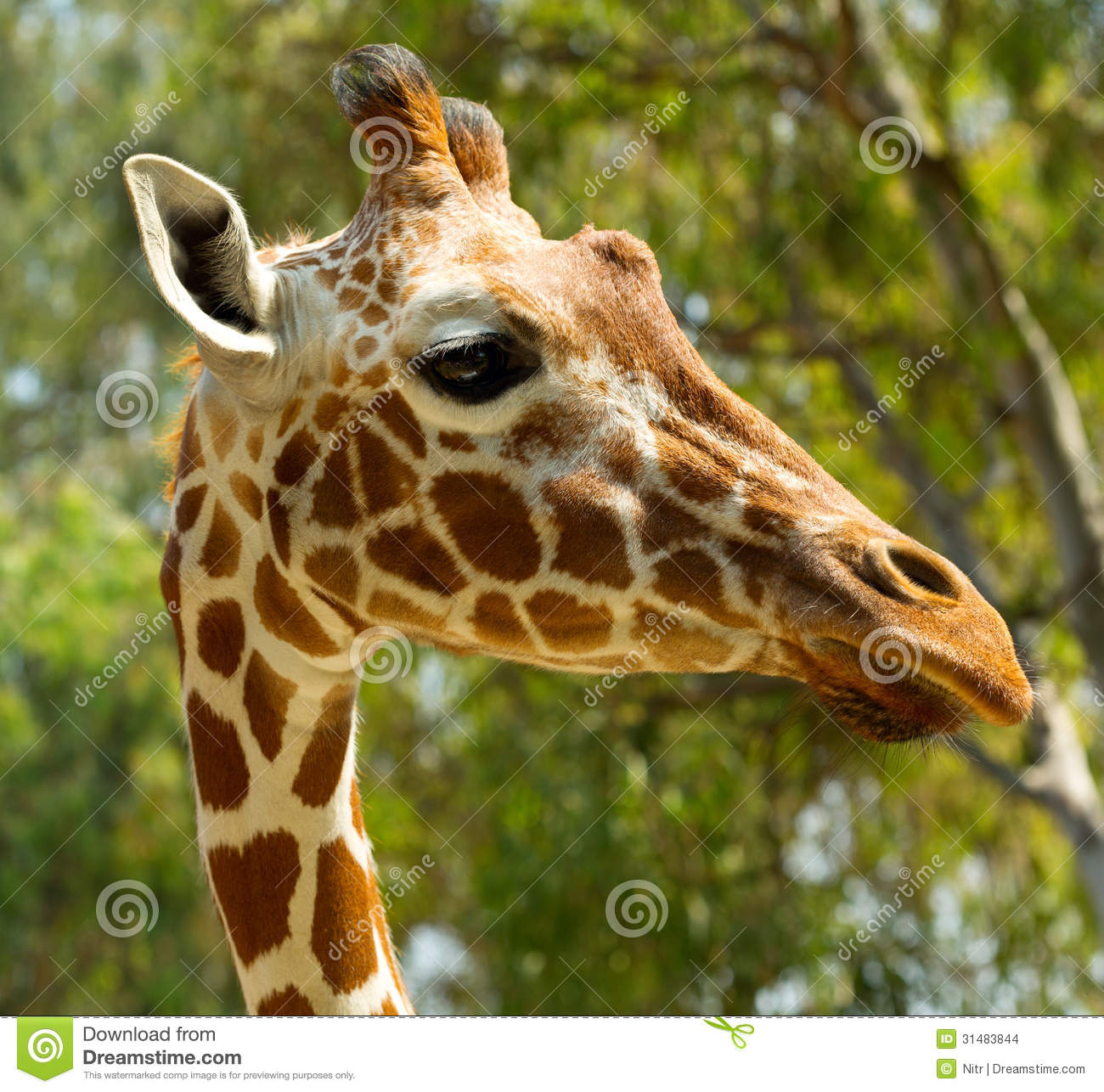 Giraffe head close up - photo#23