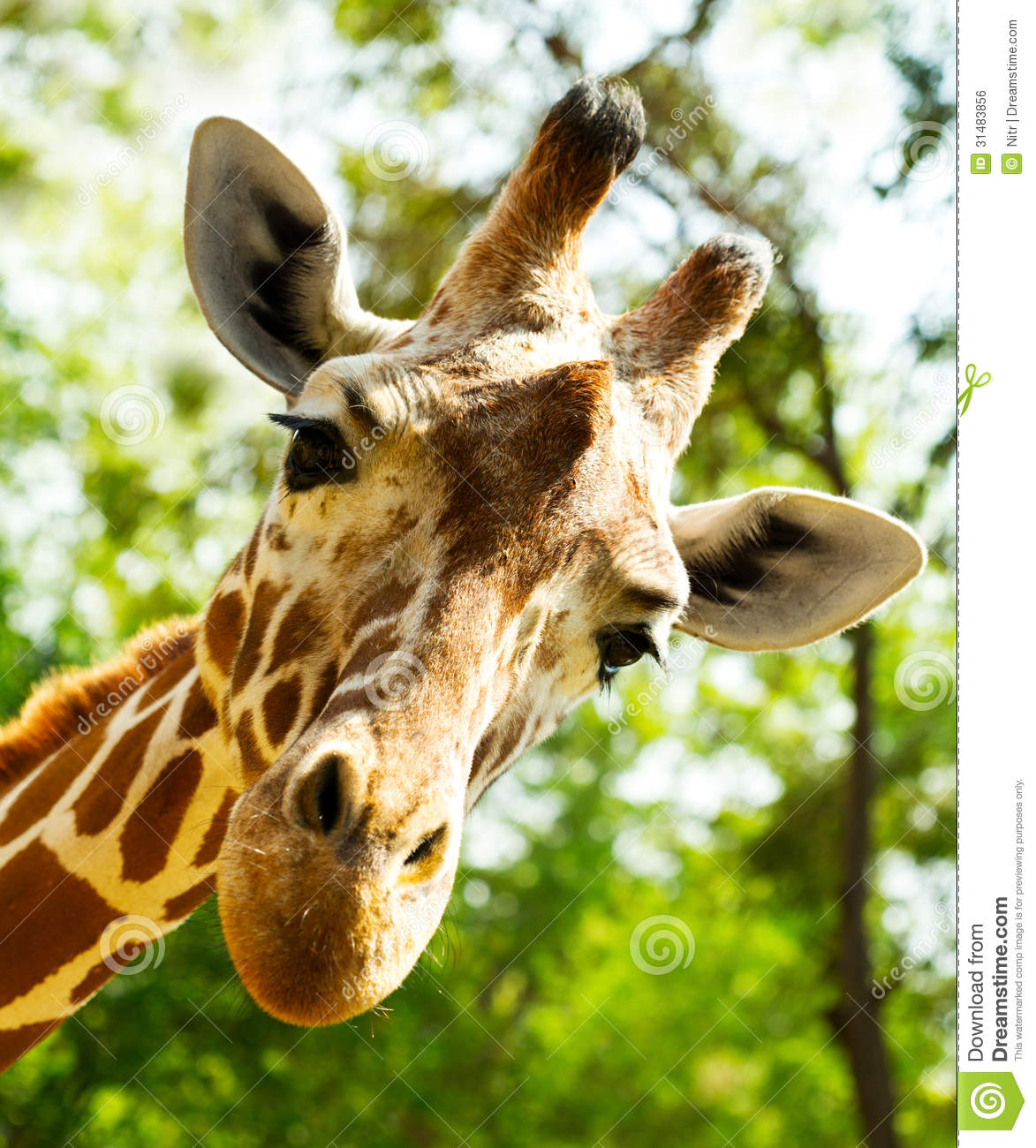 Giraffe head close up - photo#10