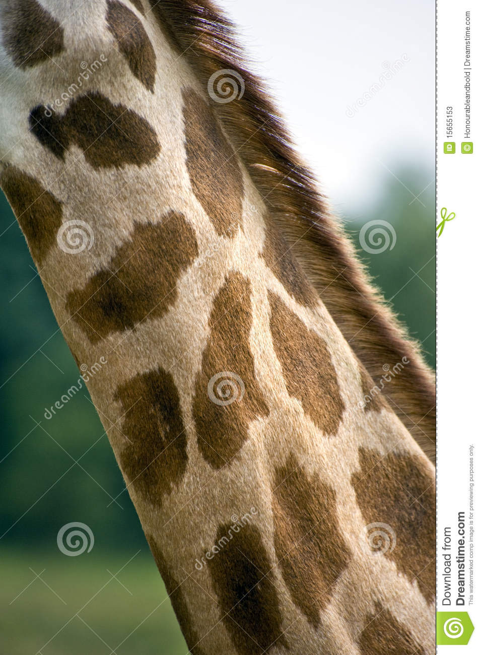 Giraffe M Close Up Of Giraffe Ne...