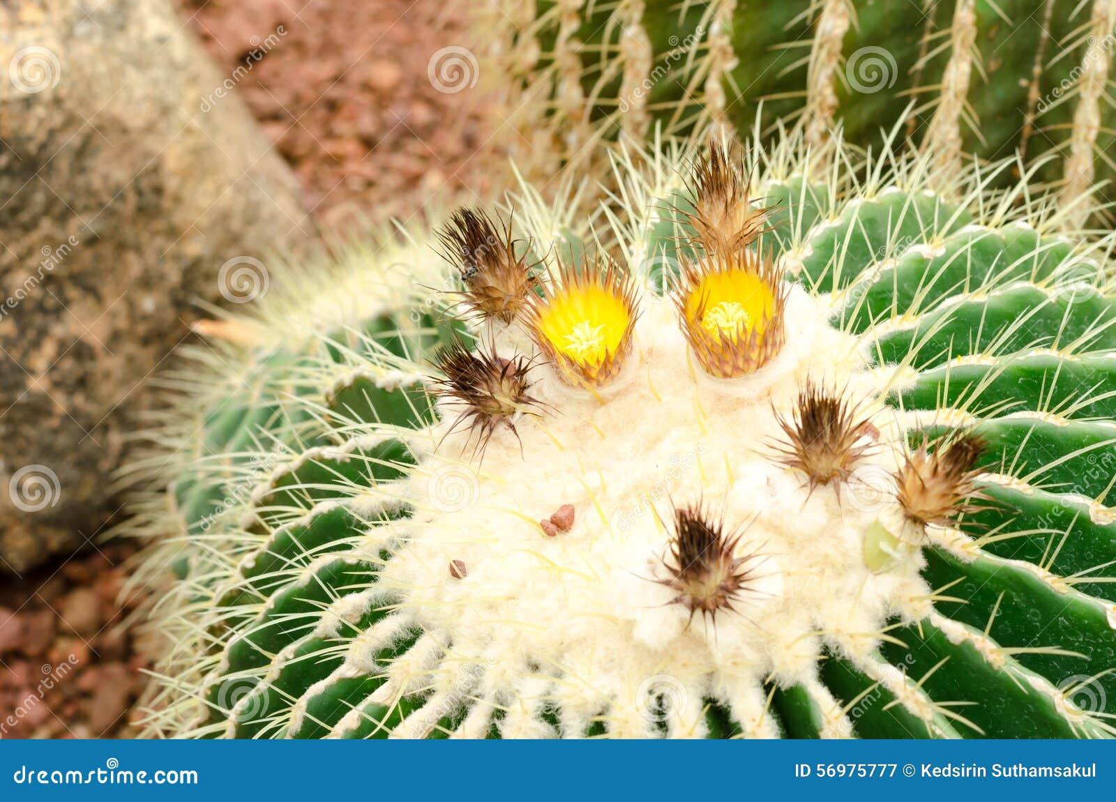Close up of golden barrel cactus plant
