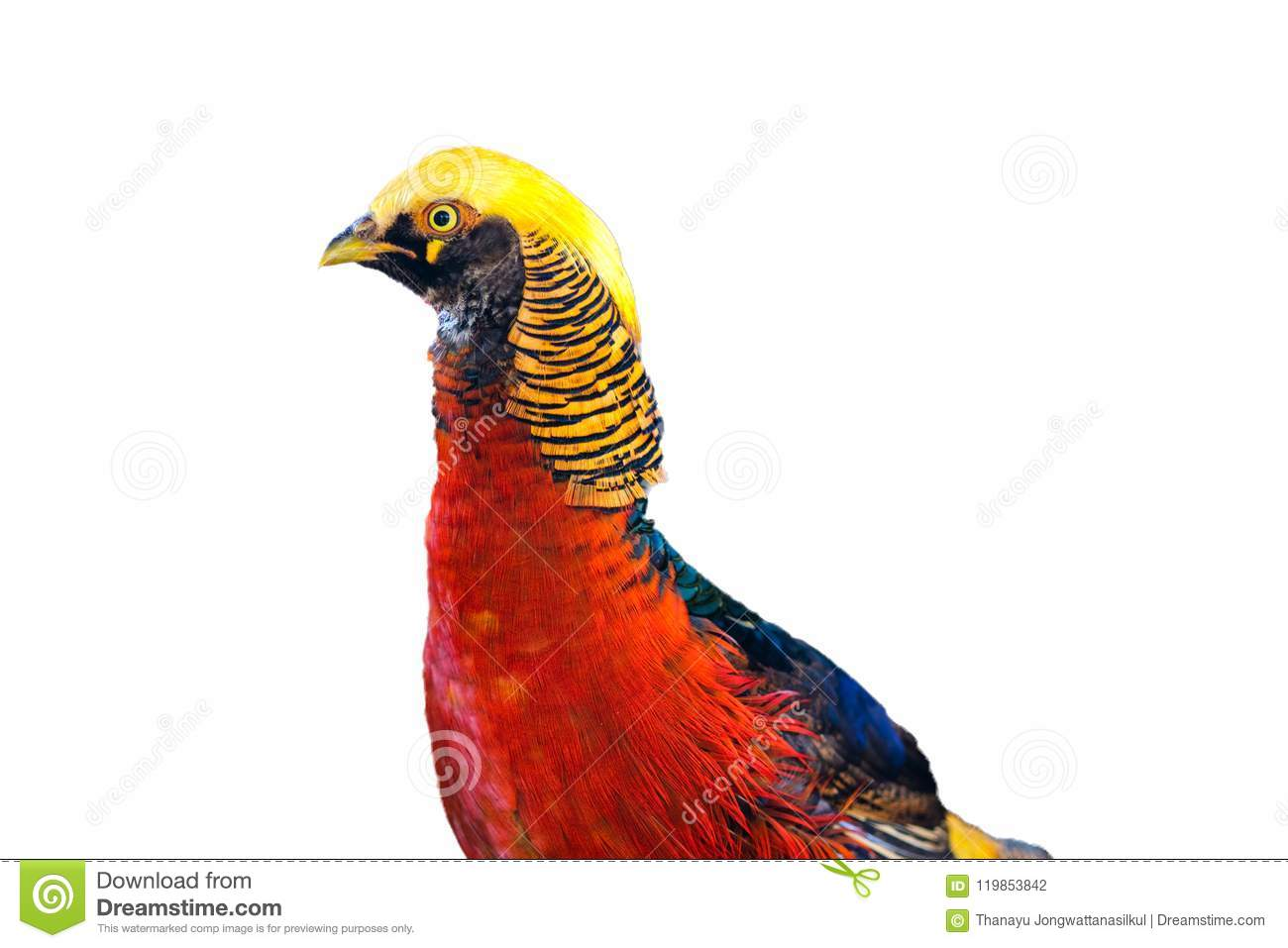 Close-up Golden pheasant bird red and yellow