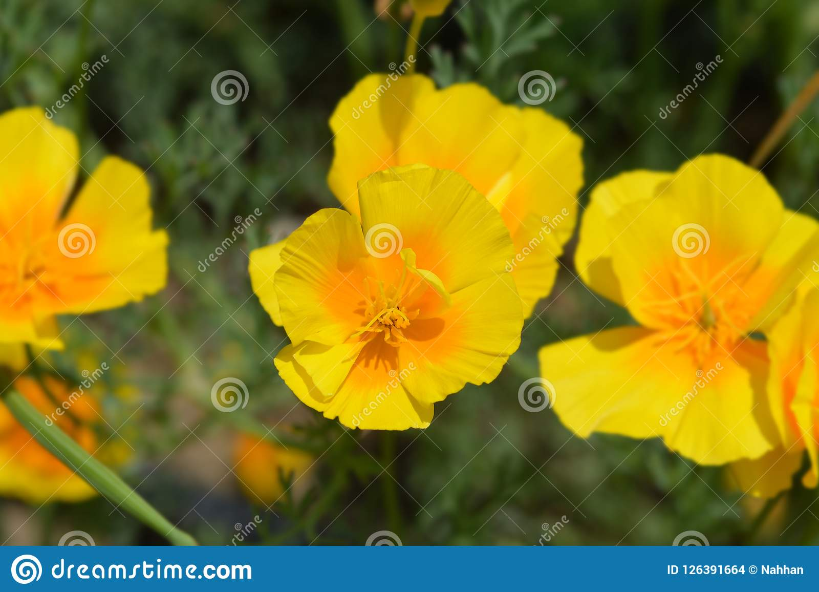 Golden Poppy Flower Stock Photo Image Of Poppy Flower 126391664