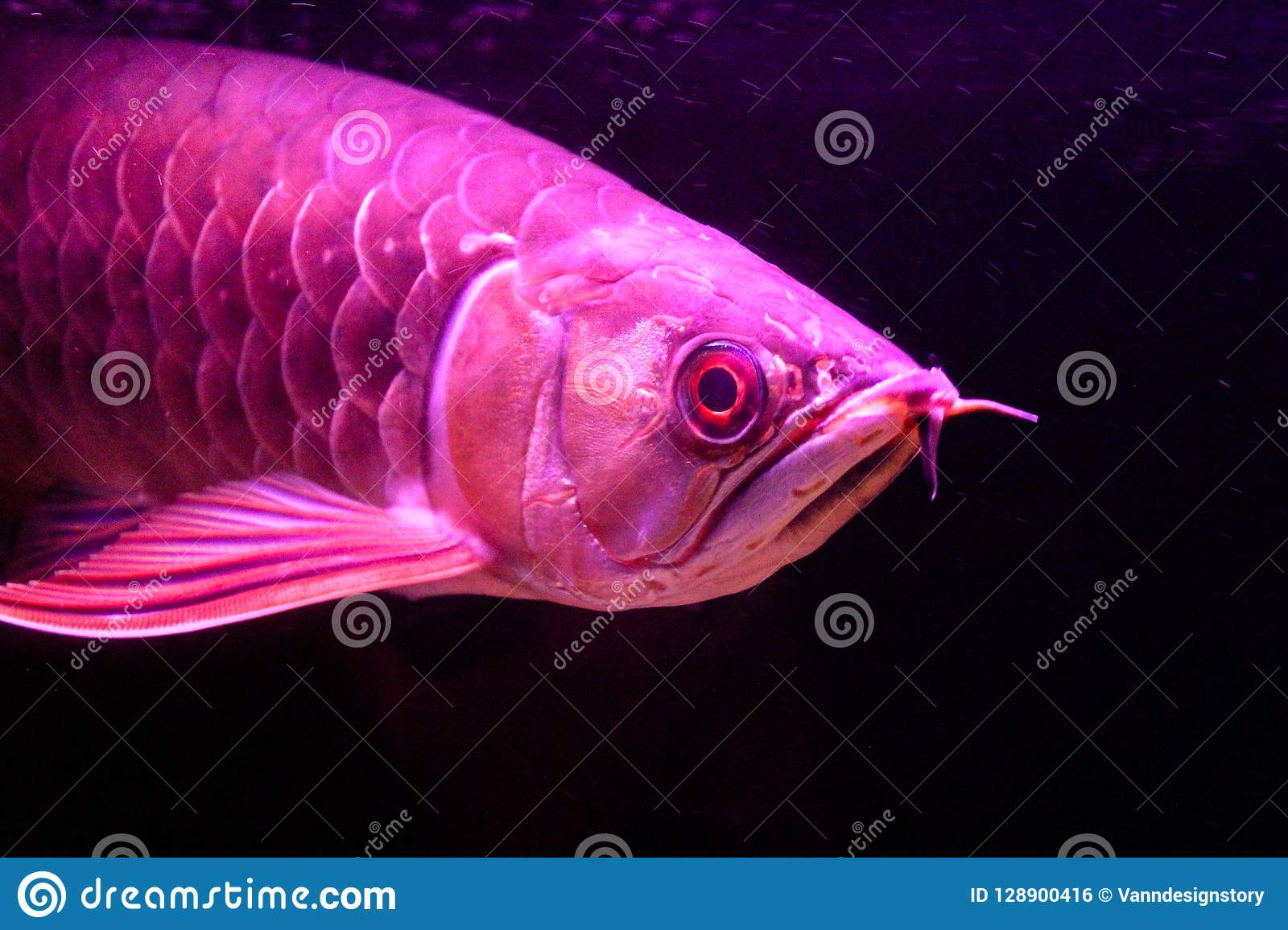 Close up Golden Red Tail Arowana fish isolated on black background.