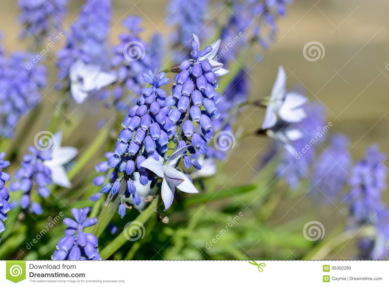 Close Up Of Grape Hyacinth Muscari And Spring Starflowers Stock