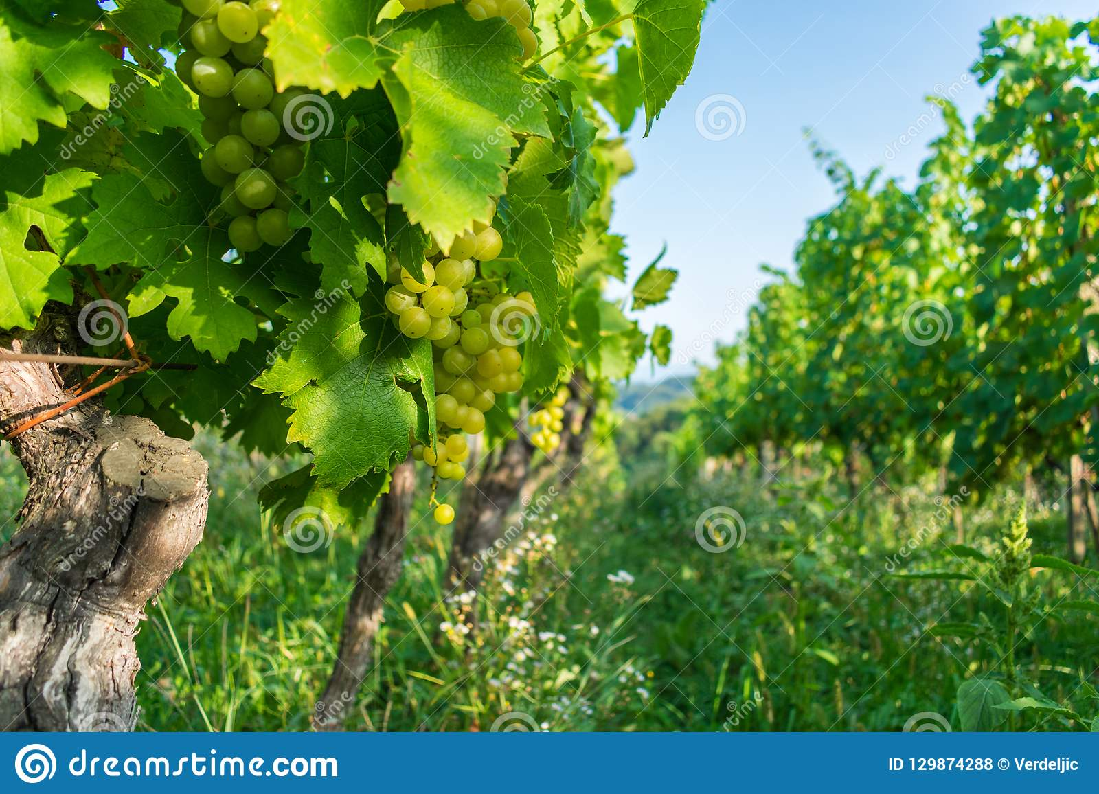 Close up of grapes in a cultivated vineyard in a hilly Zagorje region in Croatia, Europe, during a summer or autumn day