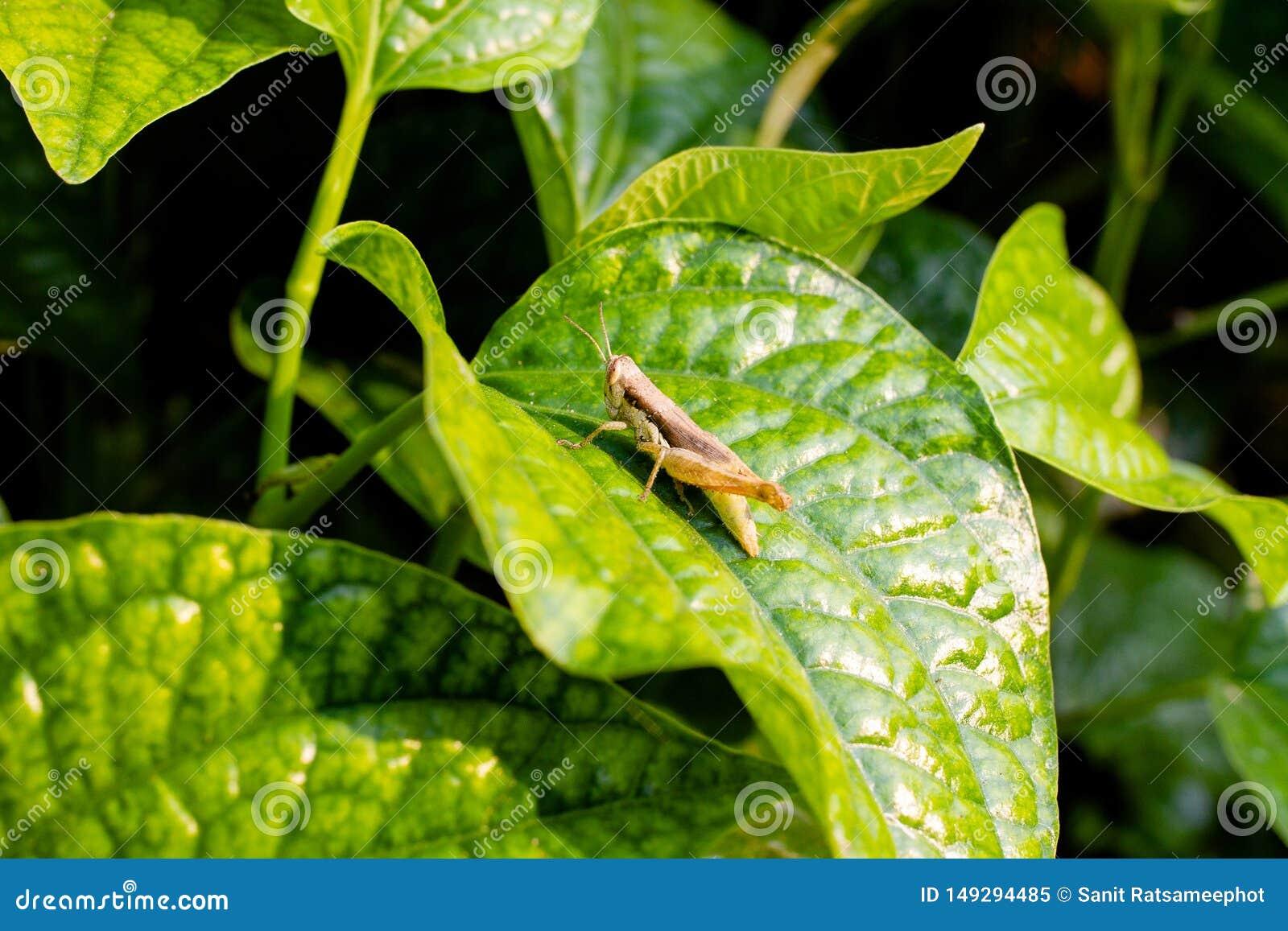 Thai Pepper Leaf Piper sarmentosum Lalot Creeping Herb Plant