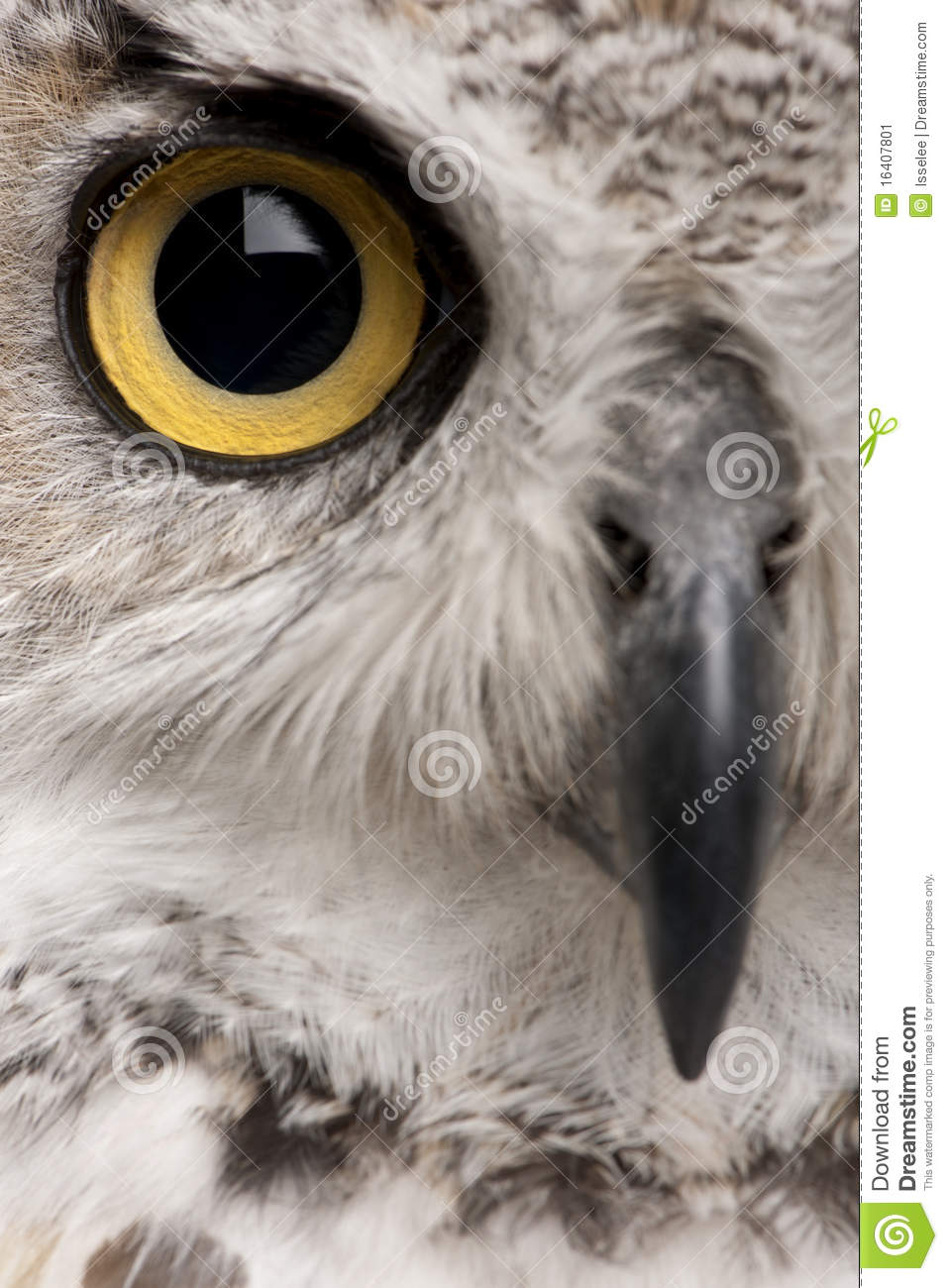 Close-up of Great Horned Owl