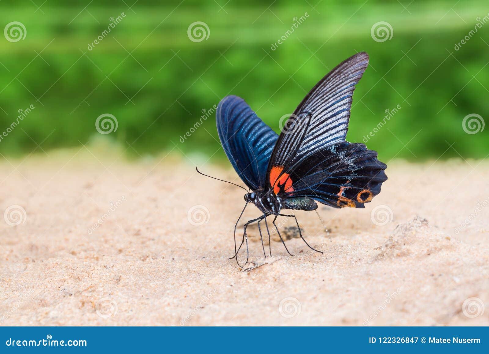 Great Mormon Papilio memnon butterfly