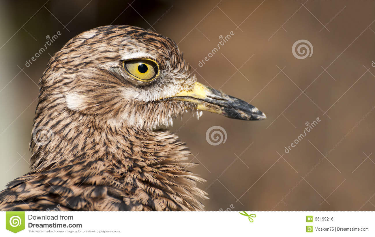 Close up of a Greater Roadrunner
