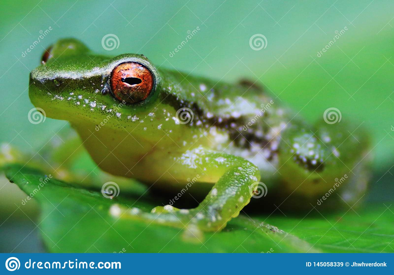 Close up of a green frog with a bright orange eye