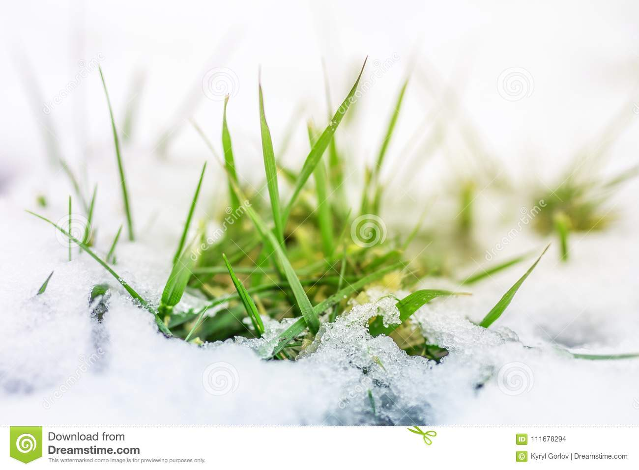 Close Up Of Green Grass Sprout Through Snow Cover Beginning Of