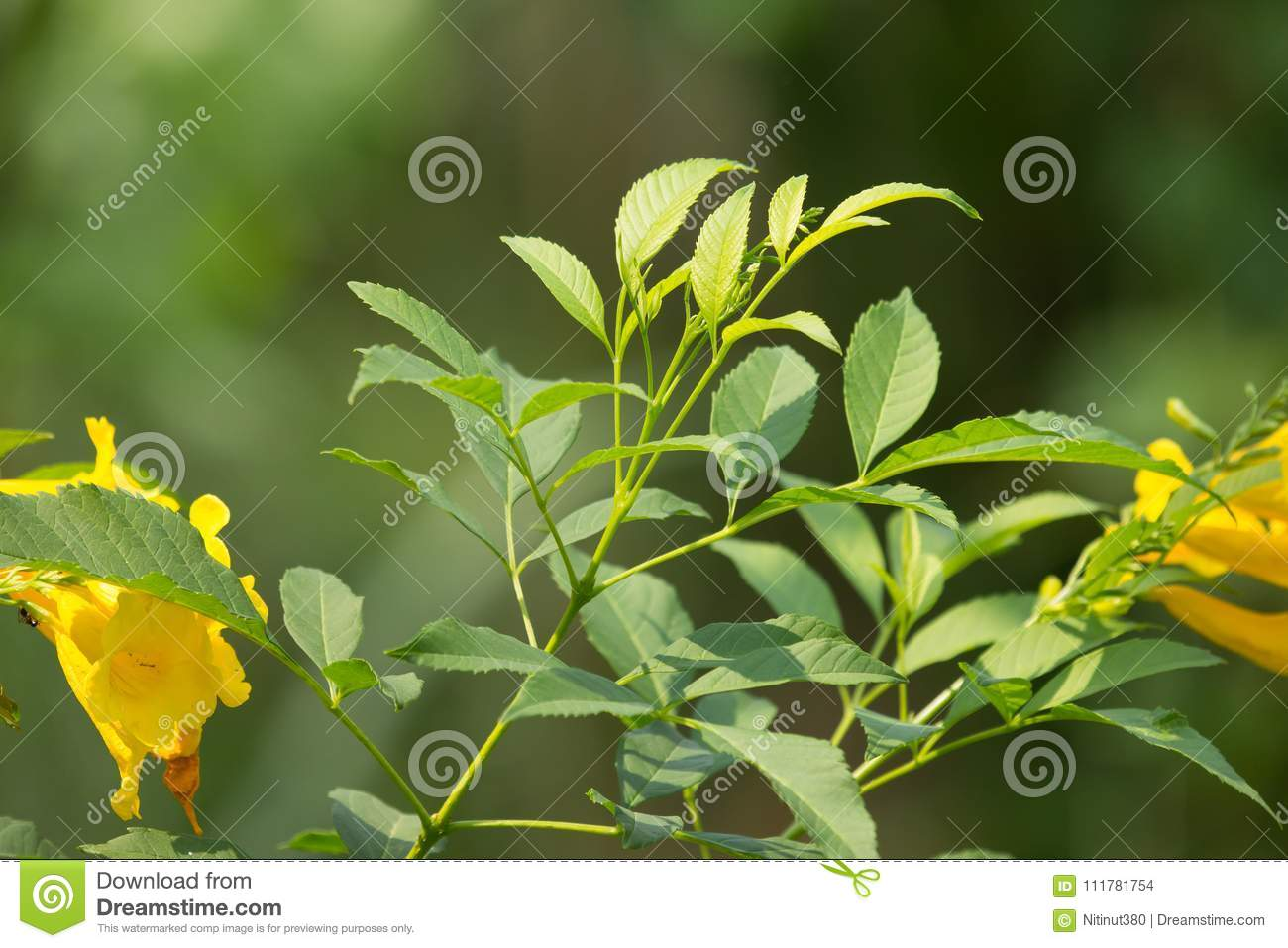 Close Up Of Green Leaf Of Yellow Elder Flower Stock Photo Image Of