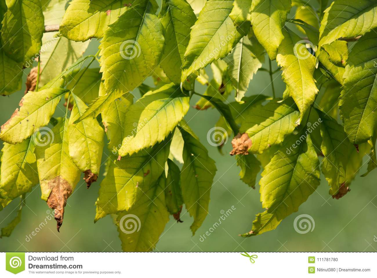 Close up of Green Leaf of Yellow elder flower