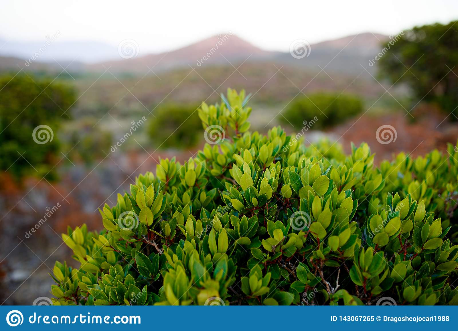 Close up of green plants on Corsica island, France, mountains landscape background. Horizontal view