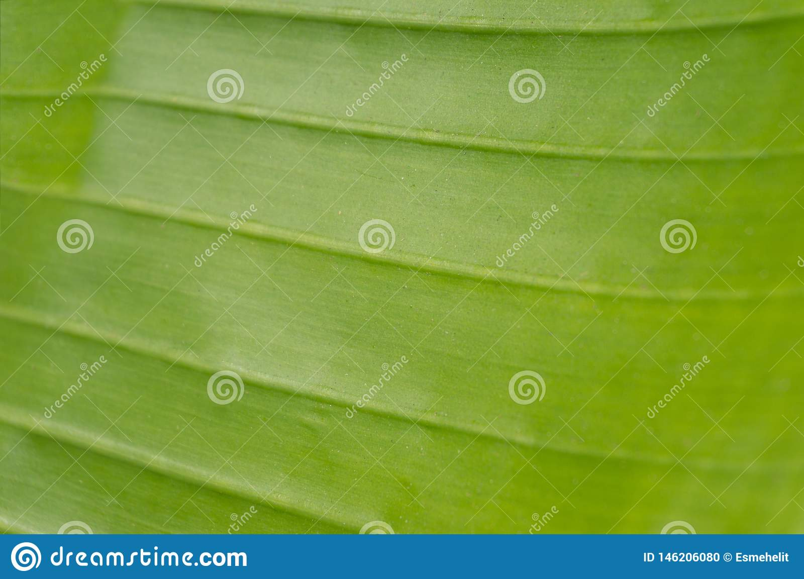 Close up of green smooth texture of banana palm leaf