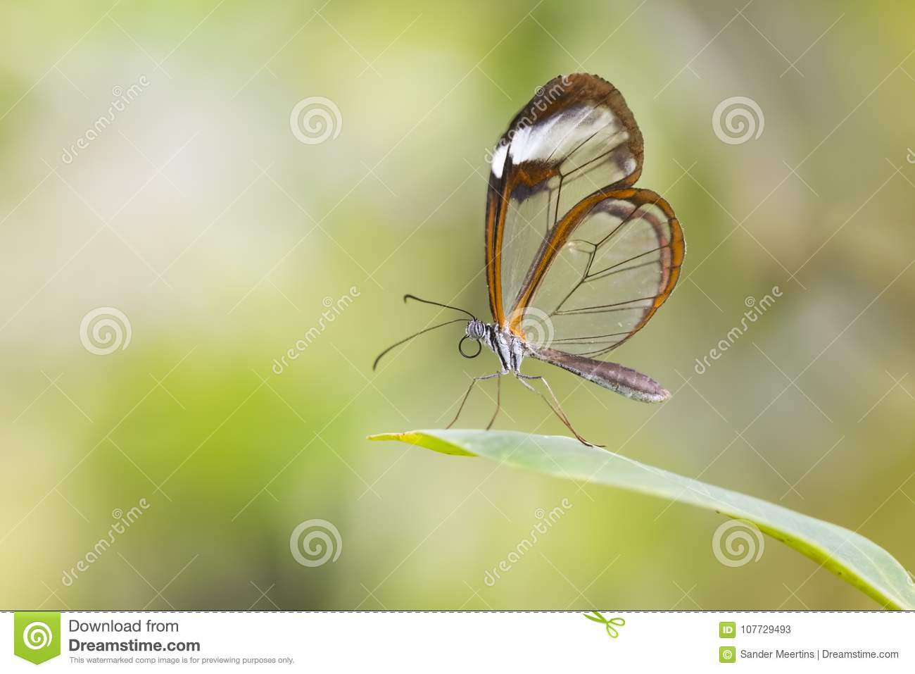 Close Up Of Greta Oto The Glasswinged Butterfly Stock Image Image