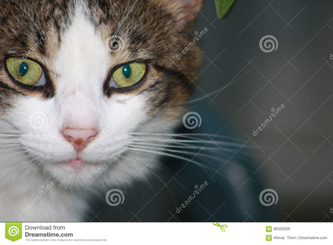 Grey Gray White Cat Face Green Eyes Stock Image , Image of