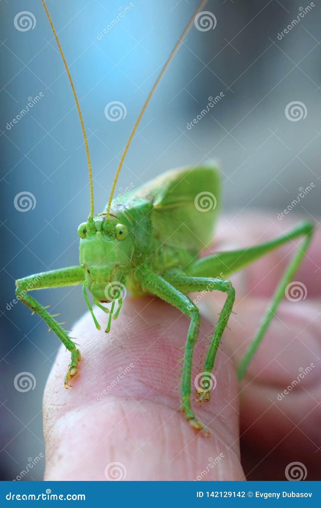 Close-up groene sprinkhaan op een vinger met grote ogen