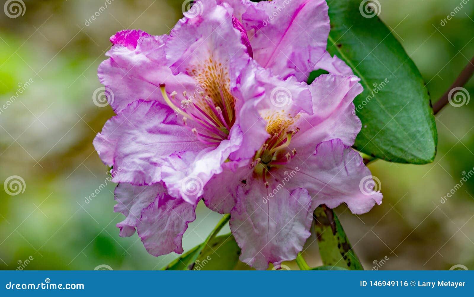 A Close-up of a Group Purple Azalea Flowers