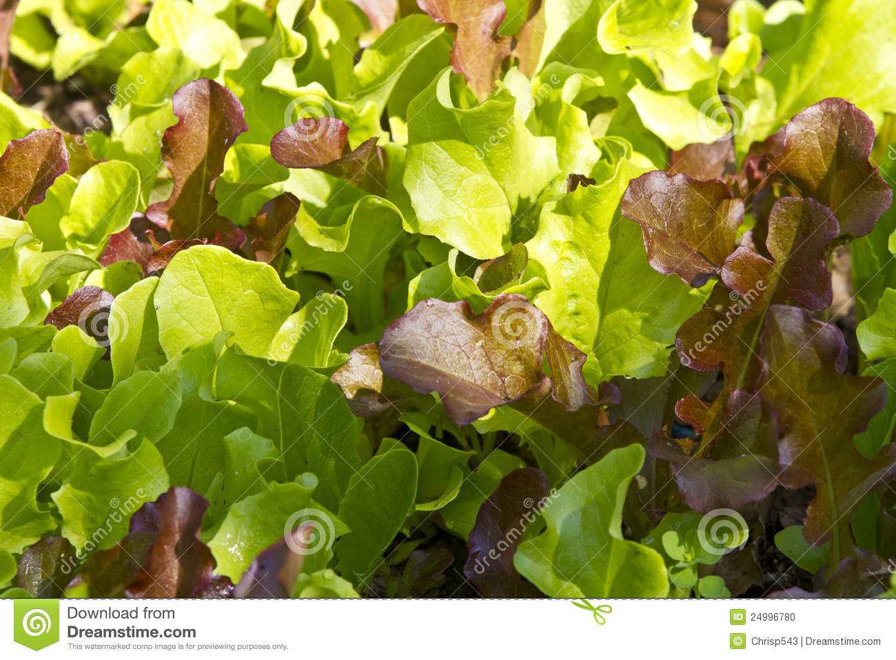 Download Close Up Of Growing Baby Salad Leaves Stock Photo - Image of close, details: 24996780