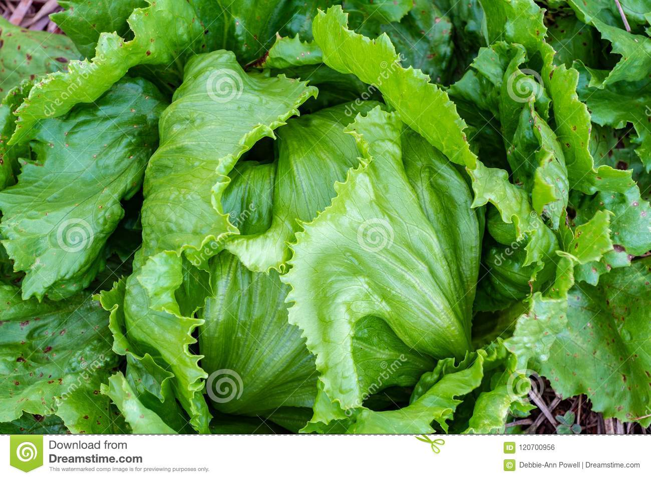Close up on growing lettuce head leaves
