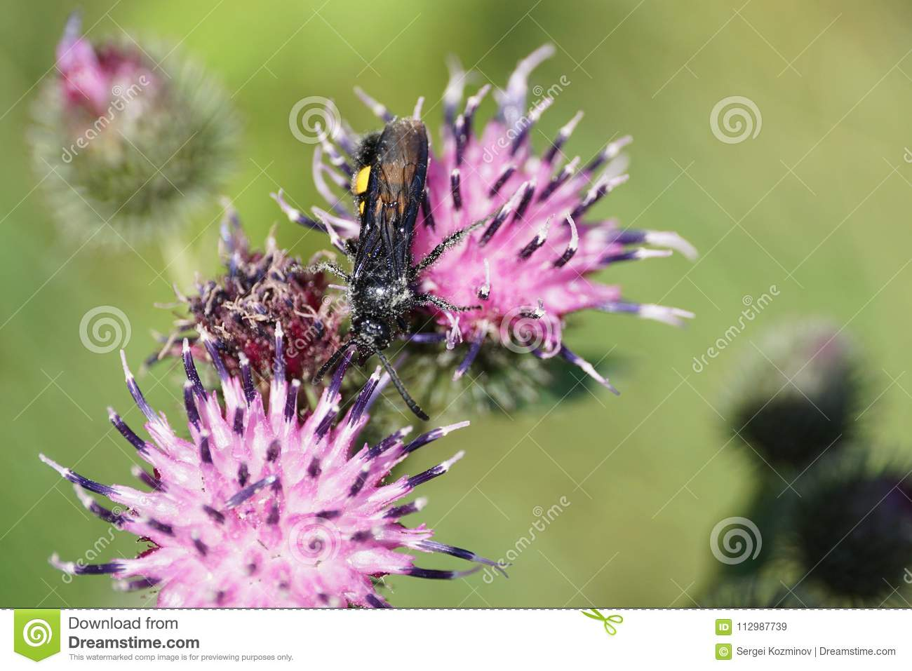 Close-up of a hanging Caucasian wasp Scolia hirta on a flower th