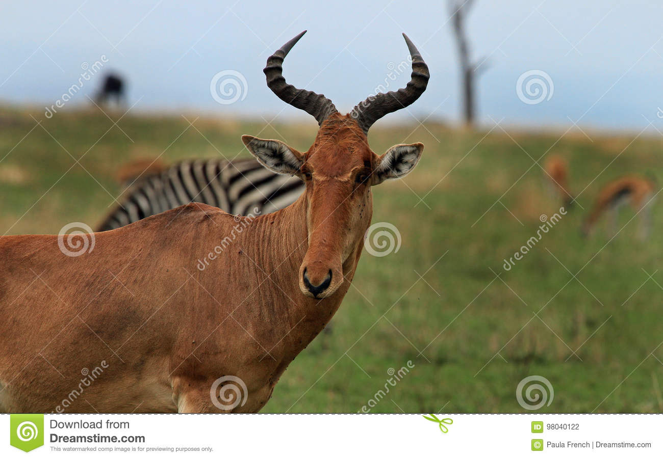 Close up of a Hartebeest with other animals in the background