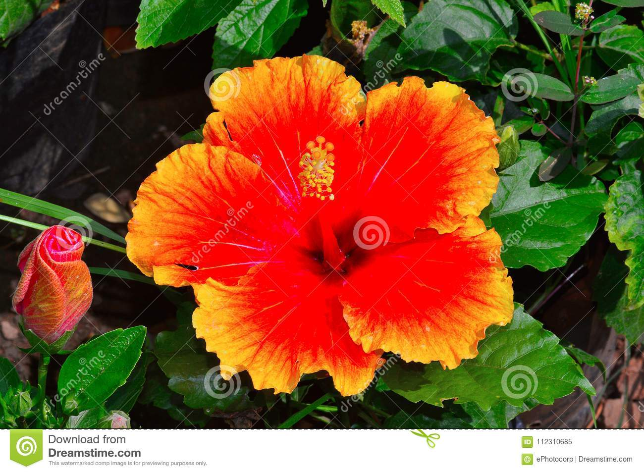 Hawaiian Hibiscus Flower Pune Stock Image Image Of Tropical