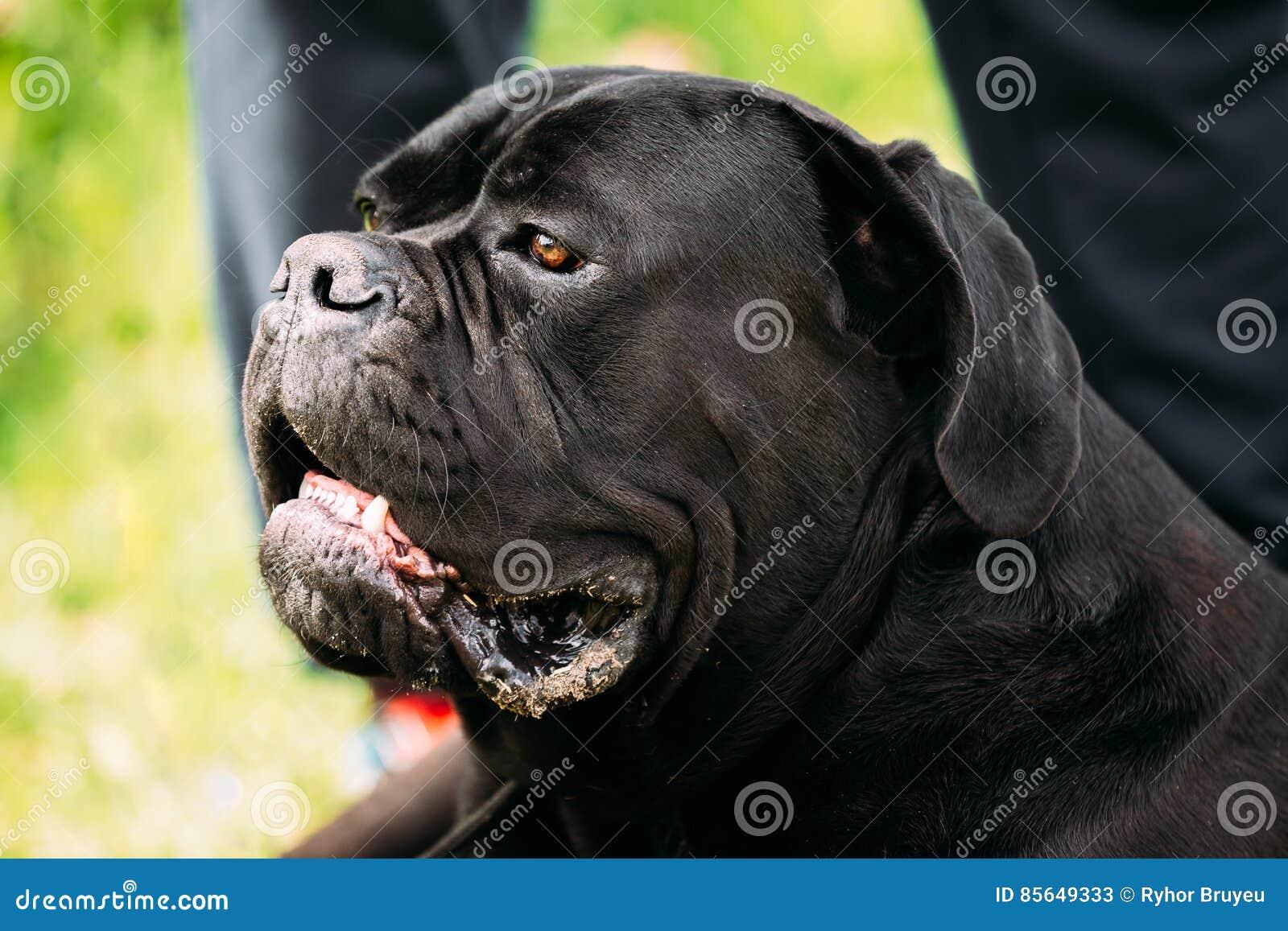 Close Up Head Of Black Young Cane Corso Dog Big Dog Breeds Stock