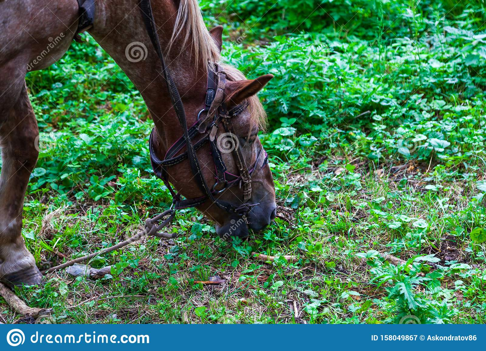Close up on a head of a arabian horse with a saddle on his back bowed his head and eats green grass in the forest