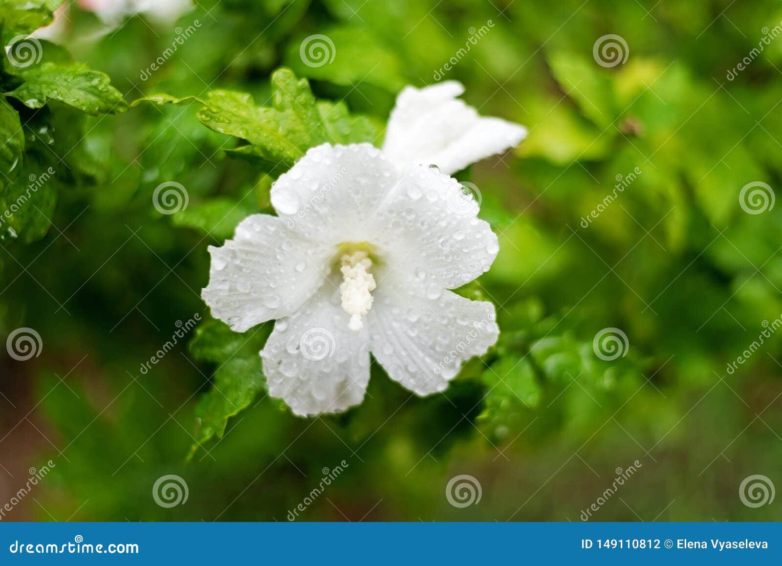 Close up head flower beautiful white In summer garden