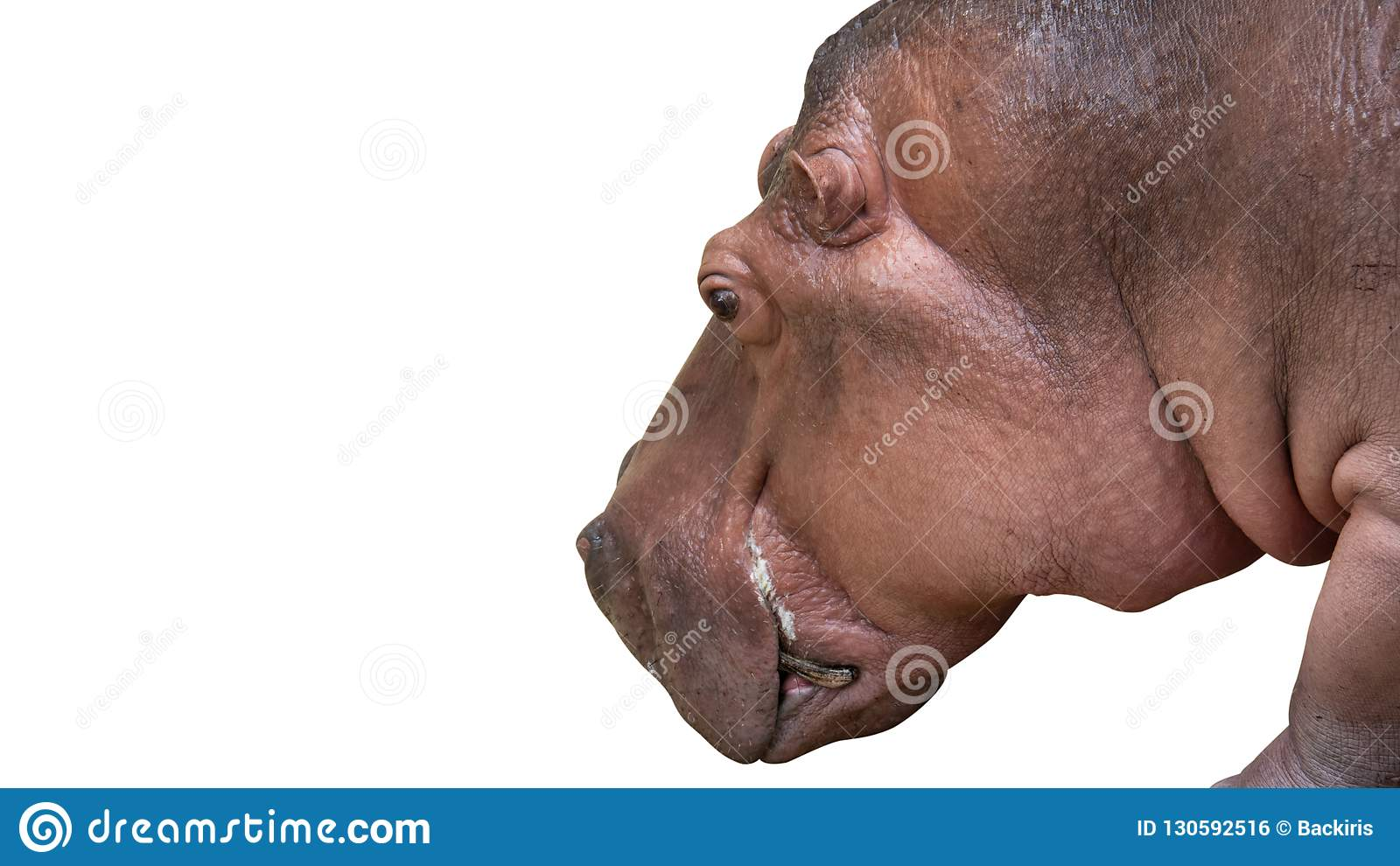 Close up Head of Hippopotamus Isolated on White Background with