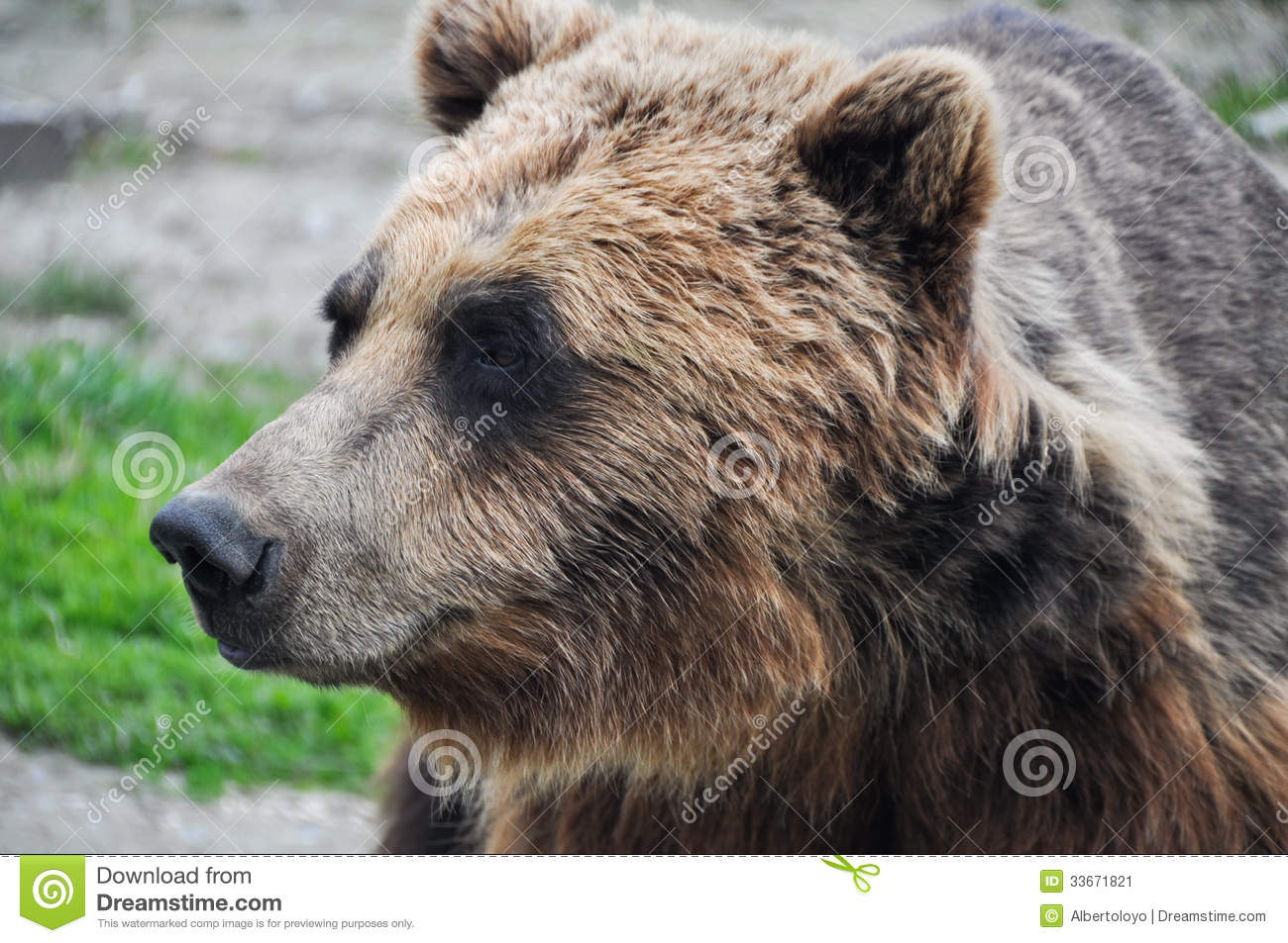 Black bear head profile - photo#20
