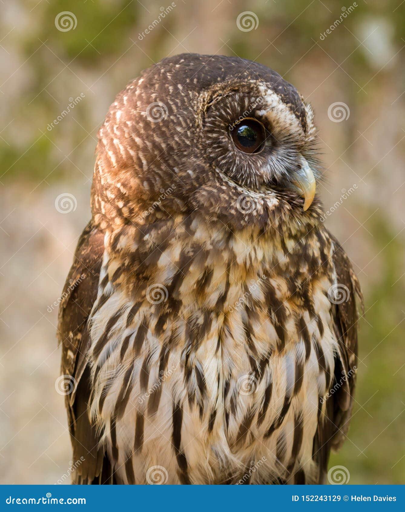 Mottled Owl Ciccaba virgata Bird of Prey