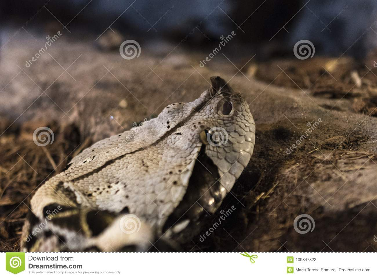 close up of the head of a vibora stock photo image of reptile