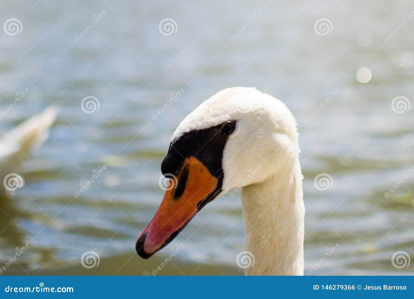 Close up of the head of a white goose. Black eyes and orange beak